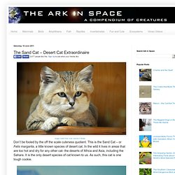 The Sand Cat – Desert Cat Extraordinaire