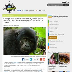 Chimps And Gorillas Desperately Need Ebola Vaccine Too – Virus Has Wiped Out A Third Of Them