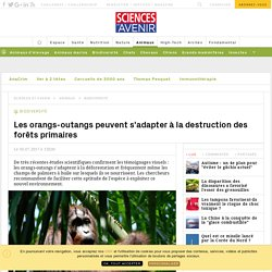 Les orangs-outangs s'adaptent à la destruction des forêts primaires - Sciencesetavenir.fr