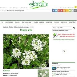 Deutzie grêle, Deutzia gracilis : conseils de culture