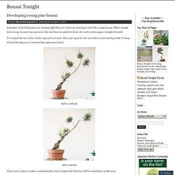 Developing young pine bonsai