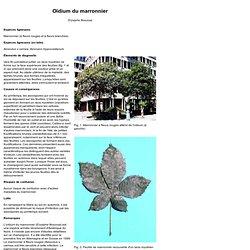 Institut fédéral de recherches WSL - Oïdium du marronnier