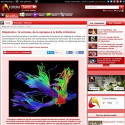 Diaporama : le cerveau, de la synapse à la boîte crânienne