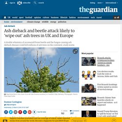 Ash dieback and beetle attack likely to 'wipe out' ash trees in UK and Europe