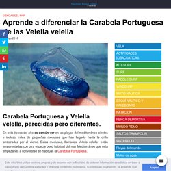 Aprende a diferenciar la Carabela Portuguesa de la Velella velella