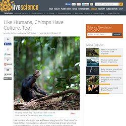 Chimp Groups Have Cultural Differences