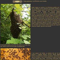 les différentes races d'abeilles