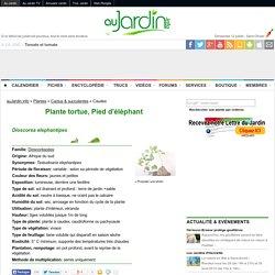 Plante tortue, Pied d'éléphant, Dioscorea elephantipes