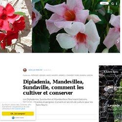 Dipladenia, Mandevillea, Sundaville, comment les cultiver et conserver