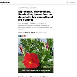 Dipladenia, Mandevillea, Sundaville, lianes fleuries du soleil