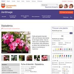 Dipladénia: planter et tailler les dipladénias