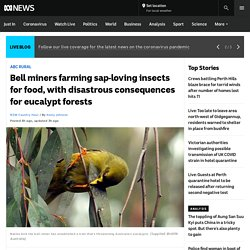 Bell miners farming sap-loving insects for food, with disastrous consequences for eucalypt forests