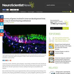 Discovery of genes involved in inner ear development hints at a way to restore hearing and balance