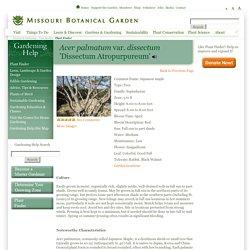Acer palmatum var. dissectum 'Dissectum Atropurpureum'