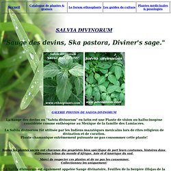 "SALVIA DIVINORUM ""SAUGE DES DEVINS"" guide de culture"