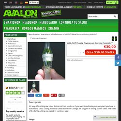 Sold-OUT! Salvia Divinorum Cutting Sold-OUT! - Avalon Magic Plants - Your #1 magic superstore