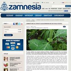 Comment faire de l'extrait de Salvia Divinorum avec des feuilles séchées