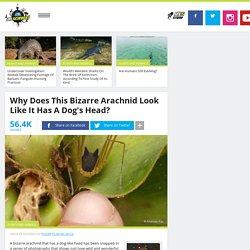 Why Does This Bizarre Arachnid Look Like It Has A Dog's Head?