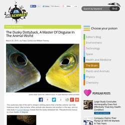 The Dusky Dottyback, A Master Of Disguise In The Animal World