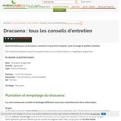 Dracaena, dragonnier : conseils d'entretien