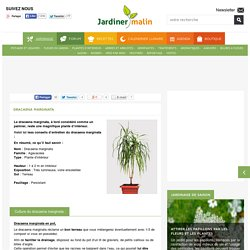 Jardin cg64 pearltrees - Entretien dracaena marginata ...