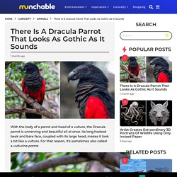 There Is A Dracula Parrot That Looks As Gothic As It Sounds