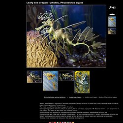 Leafy sea dragon - photos, Phycodurus eques, Animal photos, animal pictures