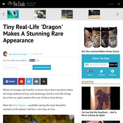 Tiny Real-Life 'Dragon' Makes A Stunning Rare Appearance