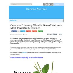 Common Driveway Weed is One of Nature's Most Powerful Medicines