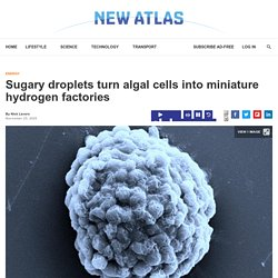 Sugary droplets turn algal cells into miniature hydrogen factories