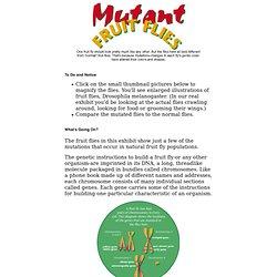 Exhibit: Mutant Fruit Flies - Drosophila Genetics