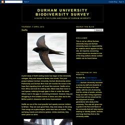 Durham University Biodiversity Survey: Swifts