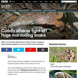 Earth - Cuddly sifakas fight off huge marauding snake