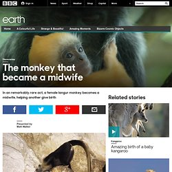 Earth - The monkey that became a midwife