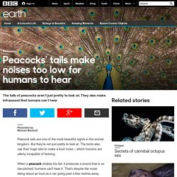 Earth - Peacocks' tails make noises too low for humans to hear