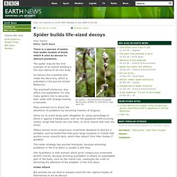 BBC - Earth News - Spider builds life-sized decoys