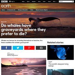 Earth - Do whales have graveyards where they prefer to die?