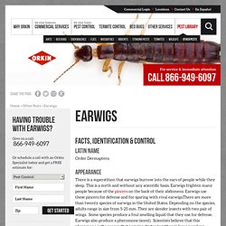 Earwig Facts & Control: How to Get Rid of and Kill Earwigs