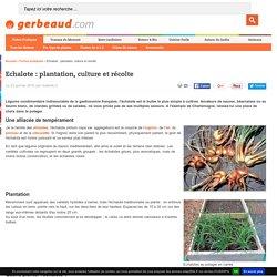 Echalote : plantation, culture et récolte