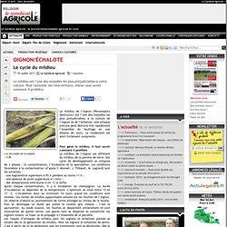 Oignon/ chalote Le cycle du mildiou - Actualit 05-07-2011 - Le Syndicat Agricole