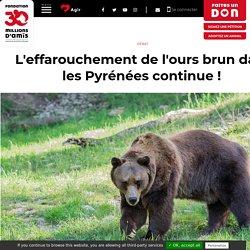 L'effarouchement de l'ours brun dans les Pyrénées continue !