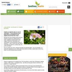 Eglantier : un rosier plein de vertus et bienfaits