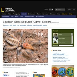Egyptian Giant Solpugids (Camel Spider)