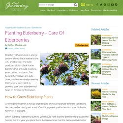 Growing Elderberries: How To Grow Elderberry Plants