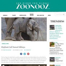 Elephant Calf Named Mkhaya