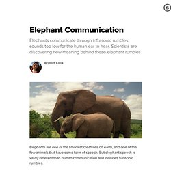 Elephant Communication: How Elephants Talk Through Rumbles and Grumbles
