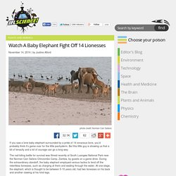 Watch A Baby Elephant Fight Off 14 Lionesses
