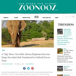 """A """"Big"""" Move: Two Male African Elephants from San Diego Zoo Safari Park Transferred to Caldwell Zoo in Texas"""