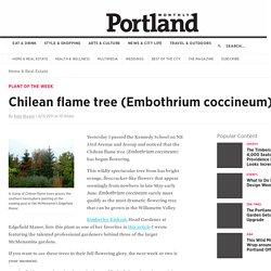 Chilean flame tree (Embothrium coccineum)