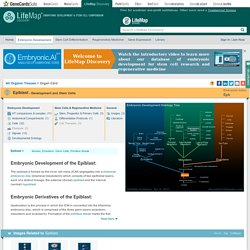 Epiblast - Embryonic Development & Stem Cells - LifeMap Discovery
